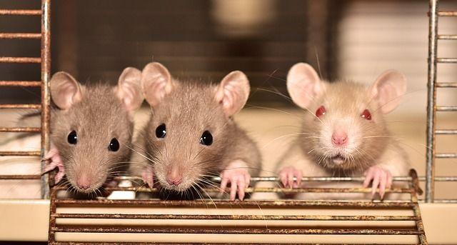 Год Белой Металлической Крысы. Советы к выбору подарка.